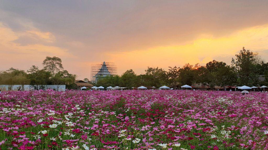 สวนดอกคอสมอส ทุ่งสิริสมัย